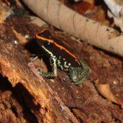 Golfo Dulce Dart Frog