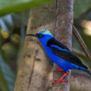 Red Legged Honey Creeper (male)