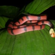 Red-eyed Tree Snake