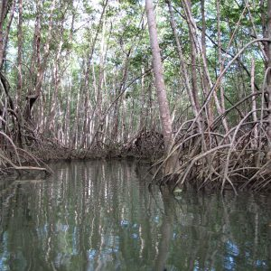 Mangroves Drake Bay
