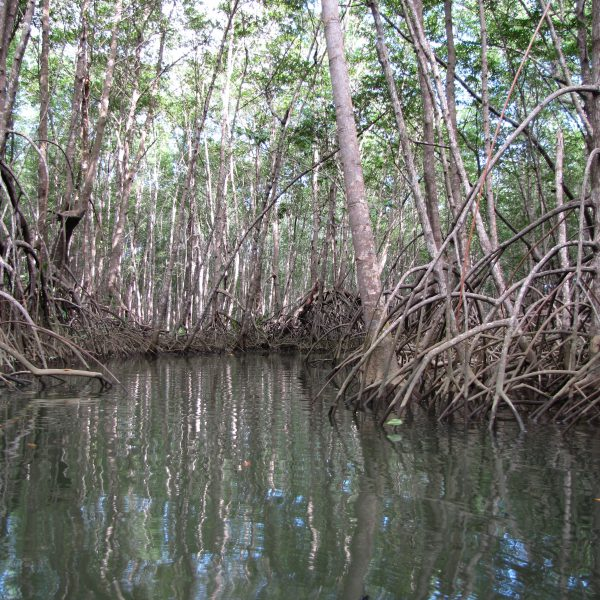 Mangroves Drake Bay
